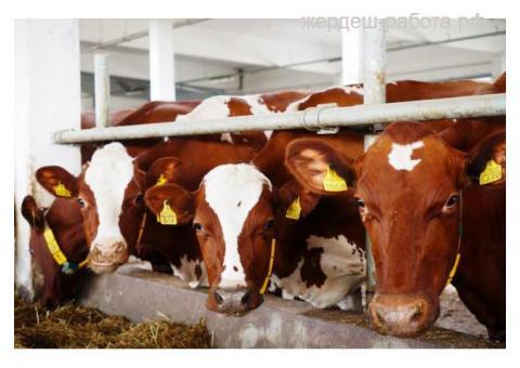 Рабочий (скотник, телятница, механизатор) на Молочную Ферму